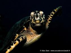 hawksbill encounter by Alex Zeni